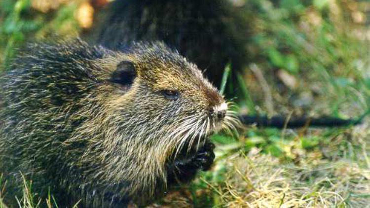 Piégeage des ragondins et rats musqués / Fév. 2019